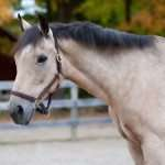 Daisy – Adopt-A-Horse